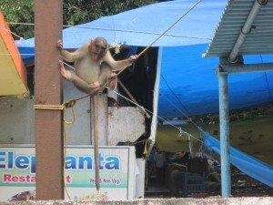 premier singe